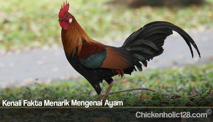 Kenali Fakta Menarik Mengenai Ayam