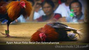 Ayam Aduan Kelas Berat Dan Kelemahannya