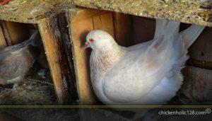 Ternak Ayam Sesuai Ternak Merpati
