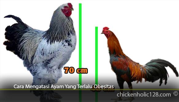 Cara-Mengatasi-Ayam-Yang-Terlalu-Obesitas