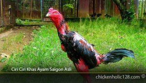 Ciri-Ciri-Khas-Ayam-Saigon-Asli