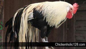 Beberapa Jenis Ayam Hias yang Unik dan Menarik