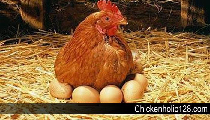 Sejarah Singkat Mengenai Ayam Petelur