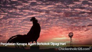 Penjelasan Kenapa Ayam Berkokok Dipagi Hari
