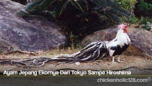 Ayam Jepang Ekornya Dari Tokyo Sampe Hiroshima