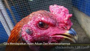Cara Mendapatkan Ayam Aduan Dan Membesarkannya