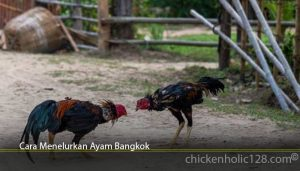 Cara Menelurkan Ayam Bangkok