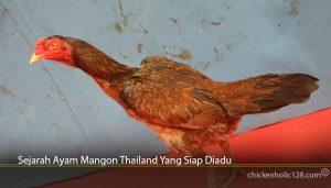Sejarah Ayam Mangon Thailand Yang Siap Diadu