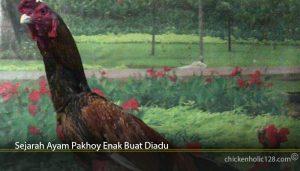 Sejarah Ayam Pakhoy Enak Buat Diadu