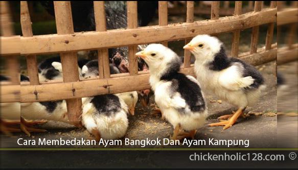 Cara-Membedakan-Ayam-Bangkok-Dan-Ayam-Kampung