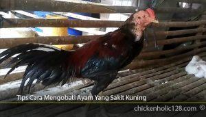 Tips-Cara-Mengobati-Ayam-Yang-Sakit-Kuning