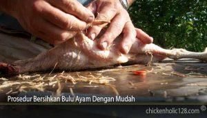 Prosedur Bersihkan Bulu Ayam Dengan Mudah